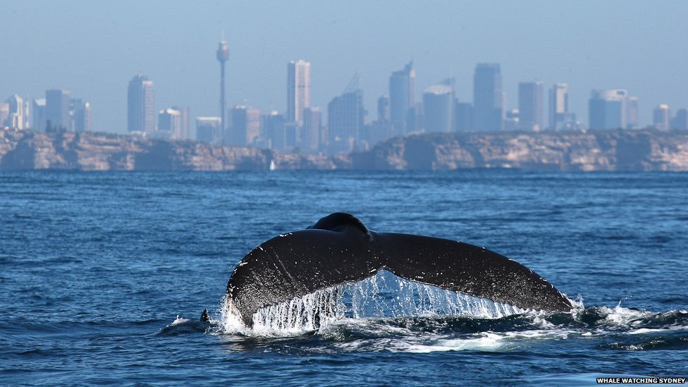humpback-whales-in-sydney-harbour.jpg